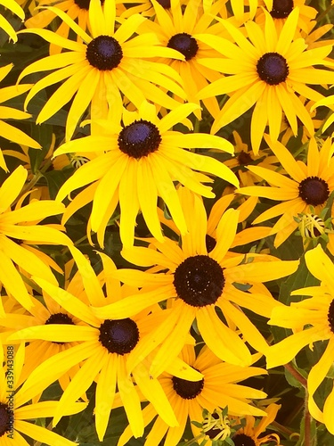 Fotografie, Tablou High Angle View Of Black Eyed Susans Blooming In Park