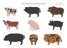 Pig Breeds Collection 5. Farm Animals Set. Flat Design