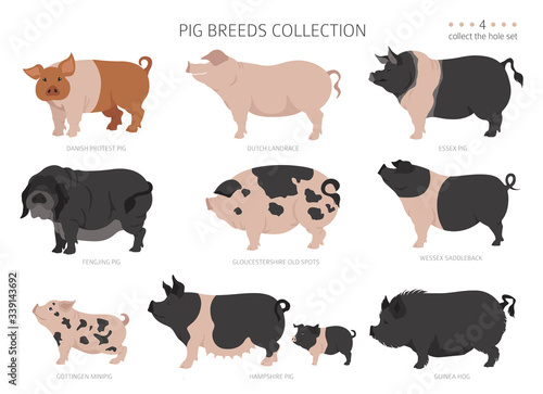 Fototapeta Pig breeds collection 4. Farm animals set. Flat design