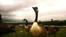 Canada Geese On Grassy Field Against Cloudy Sky