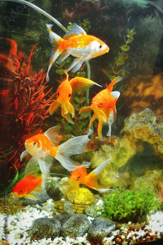 Goldfish In Tank Fototapet
