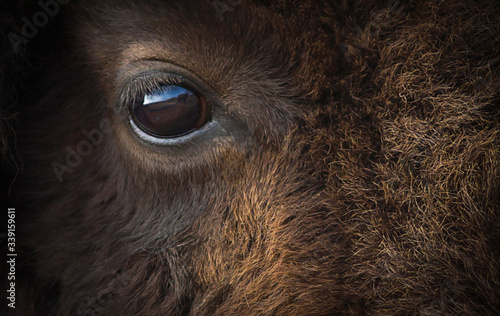 Papel de parede American bison eye closeup.