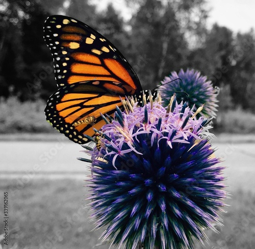 Fotografie, Obraz Close-up Of Monarch Butterfly Perching On Purple Thistle On Field