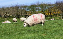 Sheep And Lambs Laying In The ...