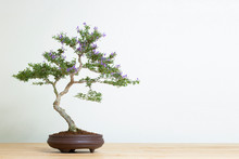 Bonsai Tree In Pot On Wood Table Copy Space Texture Backgrond Advertising