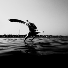 Seagull Drinking Water From Sea While Flying