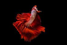 Rhythmic Of Betta Fish, Siames...