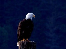 Bald Eagle Perching On Wood Outdoors