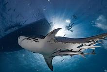 Tiger Shark In Blue Water