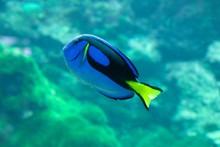 Paracanthurus Hepatus Swimming...
