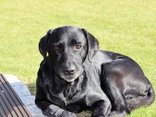 Portrait Of Injured Black Labrador Retriever Resting On Grassy Field