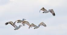 Dalmatian Pelican In Flight,  ...