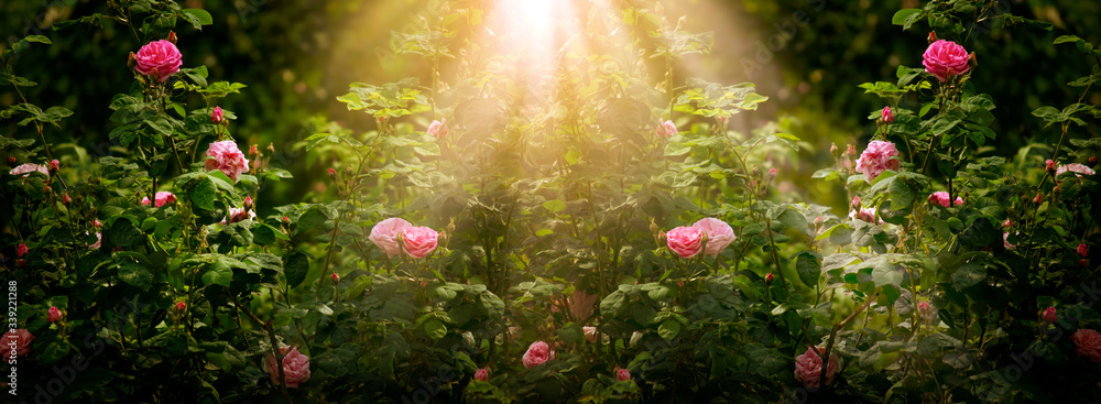 Fototapeta Blooming rose flowers in fabulous garden on mysterious fairy tale spring or summer floral sunny background with sun light beams and rays, fantasy amazing nature dreamy landscape, wide panoramic banner