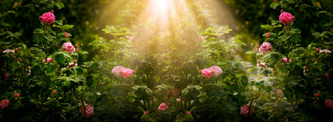 Blooming rose flowers in fabulous garden on mysterious fairy tale spring or summer floral sunny background with sun light beams and rays, fantasy amazing nature dreamy landscape, wide panoramic banner