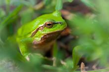 Frog Sitting In Green Grass