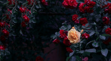 Blooming Yellow And Red Rose F...