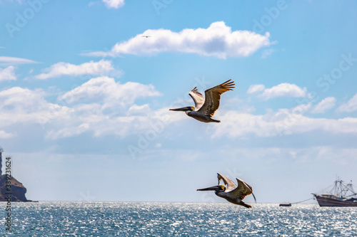 two brown pelicans fly high in the blue sky over the Pacific Ocean on the Nicara Canvas Print