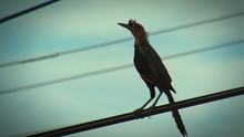 Low Angle View Of Roadrunner Perching On Cable Against Sky