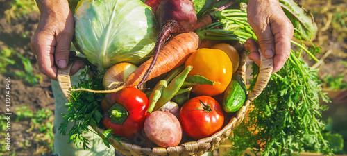 Fototapeta Grandmother with vegetables in the garden. Selective focus. obraz na płótnie