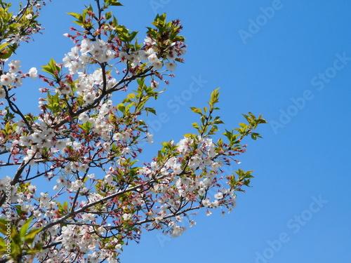 青空と花が散り始め若葉が増えてきた桜 Canvas Print
