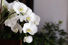 Blooming White Orchid In The Room