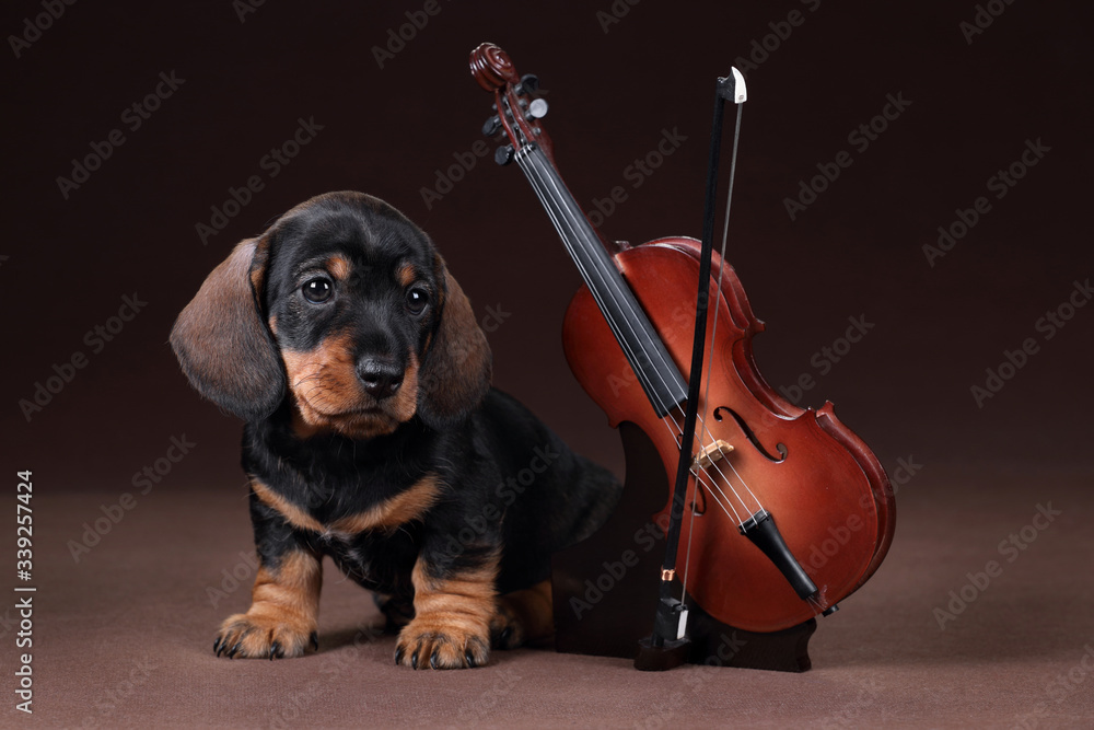 Fototapeta Cute dachshund puppy with violin