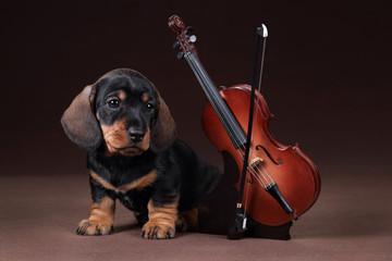 Cute dachshund puppy with violin