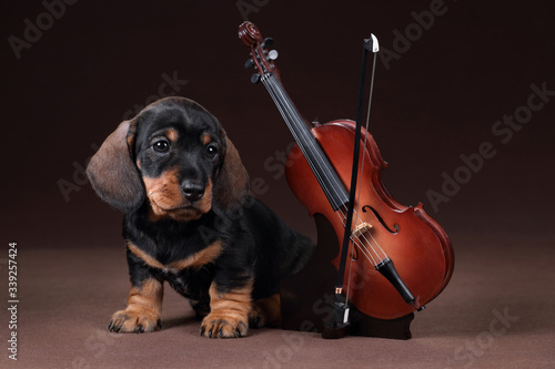 Fotografia Cute dachshund puppy with violin