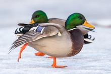Beautiful Male Mallard Duck Do...