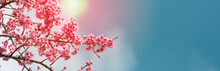 Pink Cherry Blossom Flowers Blooming In Spring On Blue Background With Copy Space For Text.