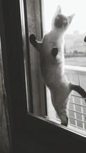 Birman Cat Seen Through Glass Window