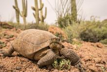 Desert Tortoise Eating Fresh Green Grass In Tucson Mountain Park, Saguaro Cactus In Background.