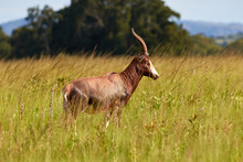 Blesbok In Milwane National Pa...