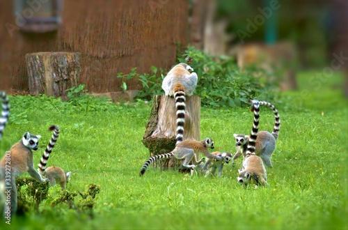 Naklejka premium Lemurs Playing On Grassy Field