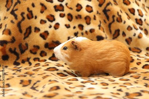 Fotomural guinea pig
