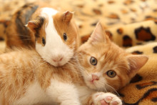 Best Kitten And Guinea Pig