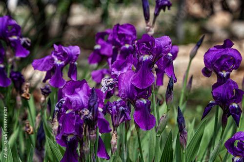 Fototapeta iris in the spring in the desert garden