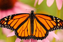 Monarch Butterfly Stretching I...