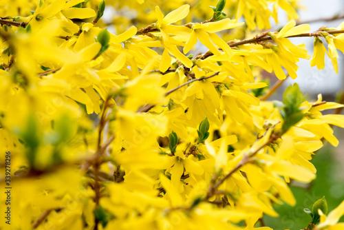 Fotografia, Obraz fiori di forsizia di un bel colore giallo in periodo primaverile