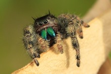 Close-up Of Jumping Spider On Wood