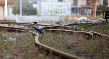 Black Raven Standing On Orange Metal Rusted Train Tracks Looking Into The Distance. Blurred Buildings In Distance