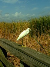 Side View Of Snowy Egret Perch...