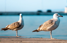 Two Seagulls Standing On The E...