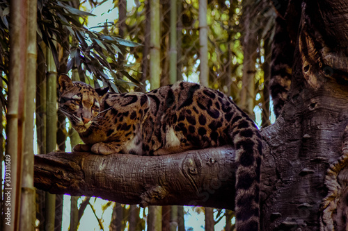Canvas-taulu Clouded Leopard On Branch In Forest
