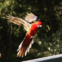Crimson Rosella Flying Against...