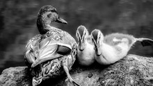 Close-up Of Duck With Duckling...