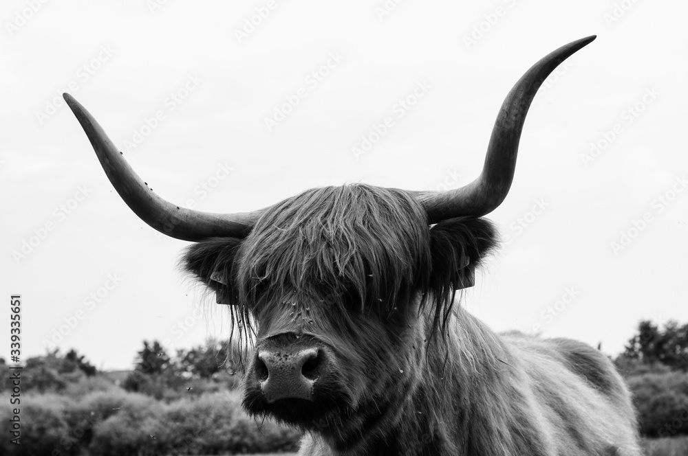 Close-up Of Highland Cattle Against Sky