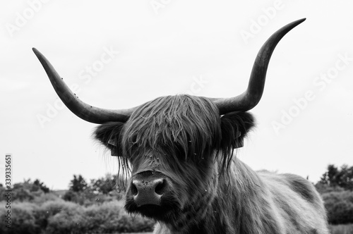 Fototapety, obrazy: Close-up Of Highland Cattle Against Sky