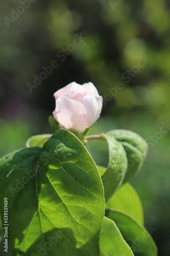Foto paysage de printemps  fleur de cognassier