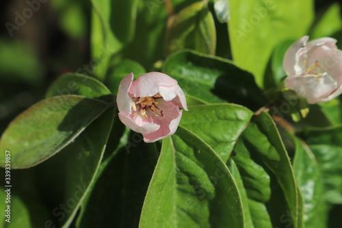 Foto paysage de printemps fleur  du cognassier